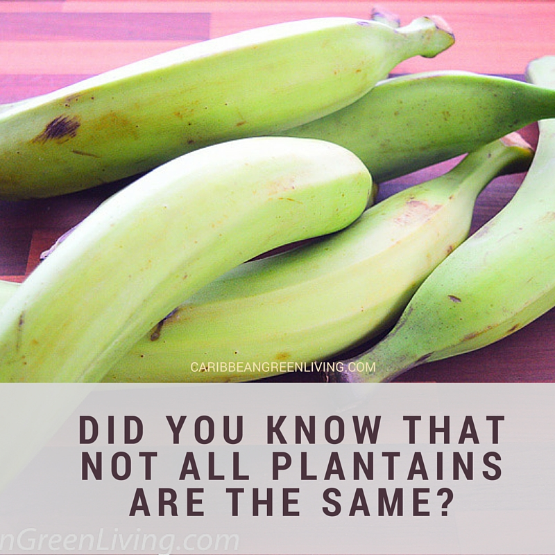 Did You Know That Not All Plantains Are The Same Caribbean Green Living