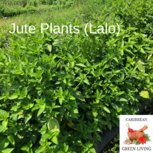 Would you visit a Jute (Lalo) Farm in your spare time?